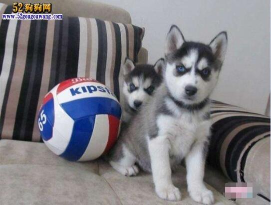 哈士奇犬价钱 1000元左右一只?