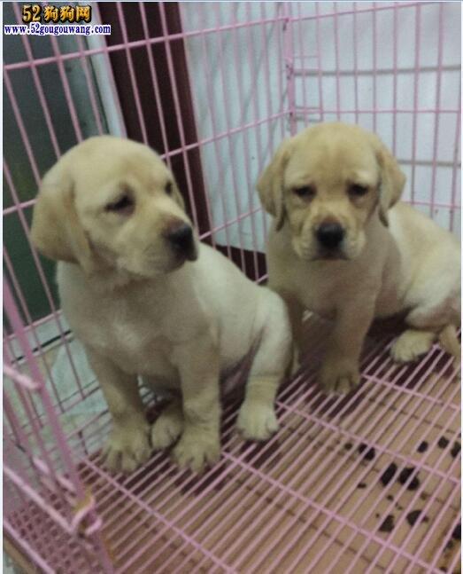 2018年拉布拉多价格行情 2018拉布拉多犬多少钱一只?