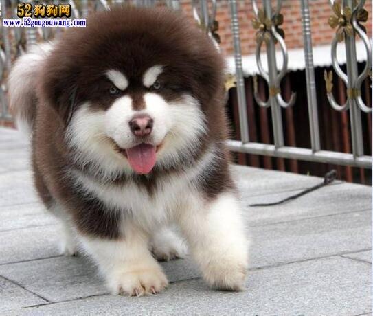 2018年阿拉斯加犬价格行情 2018阿拉斯加多少钱一只?