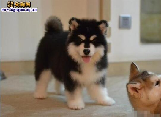 阿拉斯加犬幼犬:阿拉斯加幼犬挑选与饲养知识