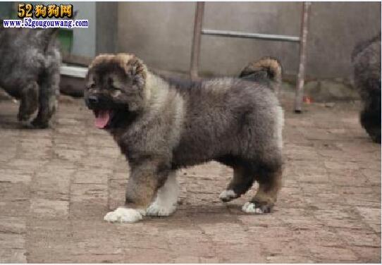 2018年高加索犬价格行情 2018高加索犬多少钱一只?