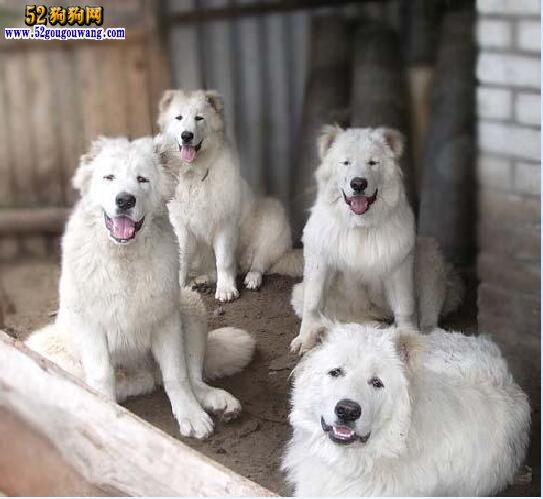 白色高加索犬