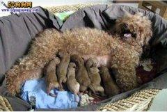 朋友家贵宾犬生了6个小崽子!看