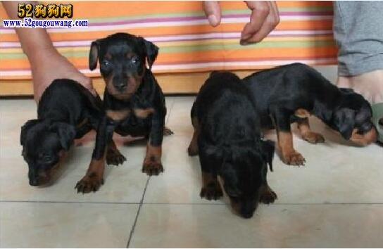 杜宾幼犬价格?