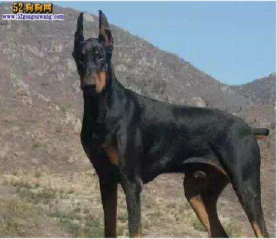 德系杜宾犬