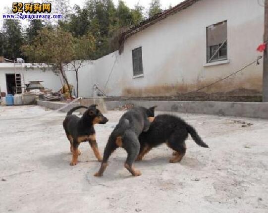 昆明犬小狗价格?昆明犬小狗多少钱一只?
