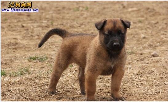 马犬幼犬价格?小马犬多少钱一只?