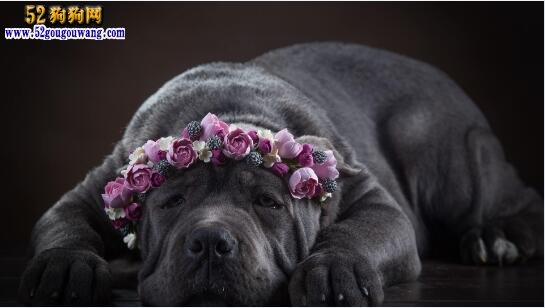 卡斯罗皮肤病:卡斯罗犬常见皮肤病与防治