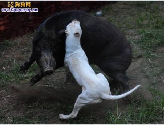 杜高犬多少钱-1200元左右
