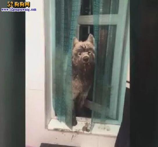 萨摩耶半夜从窗户回家 主人看它的摸样到后无语了!