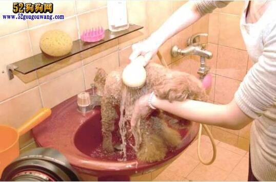 怎么给狗狗洗澡
