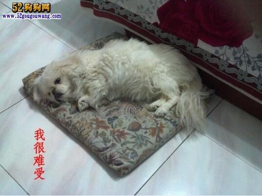 狗狗肠胃炎的症状及治疗方法