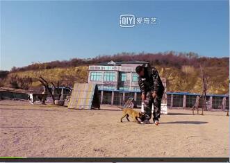 马犬幼犬训练视频