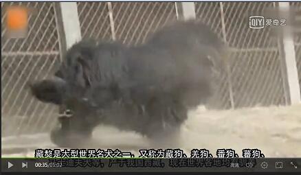 世界上最大的藏獒 230公斤长什么样【视频】