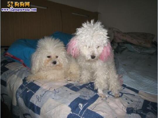 泰迪犬配种