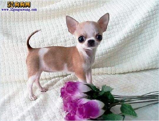 吉娃娃犬多少钱