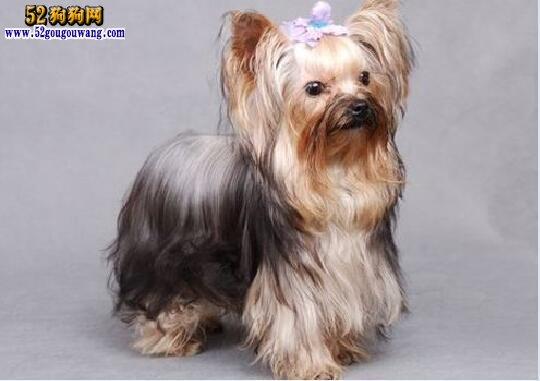 约克夏卷毛 有卷毛的约克夏犬吗?