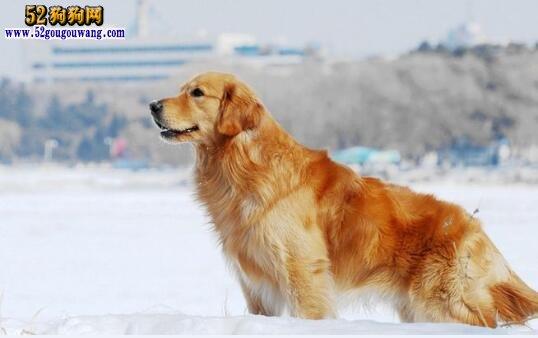 金毛犬大概价格,金毛犬一般多少钱?