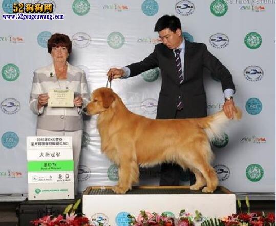 赛级金毛犬图片