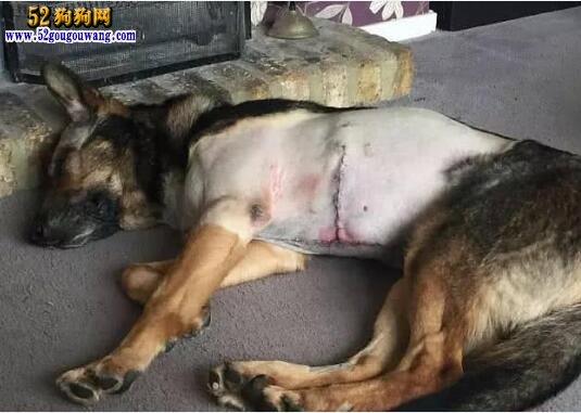 德牧救主差点被砍成两截 护犬法律由此诞生!