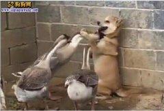 爆笑!中华田园犬被大灰鹅围攻!