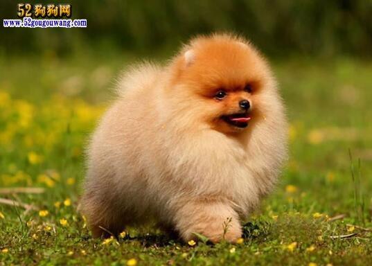 黄色博美犬