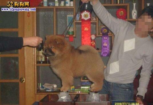纯种松狮犬价格