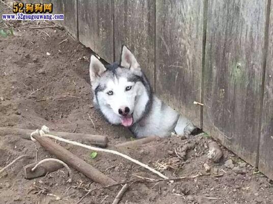 哈士奇犬智商
