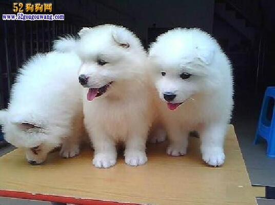 关于两个月萨摩耶犬喂养知识