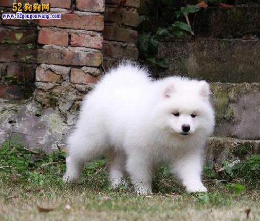 幼年萨摩耶犬多少钱一只?