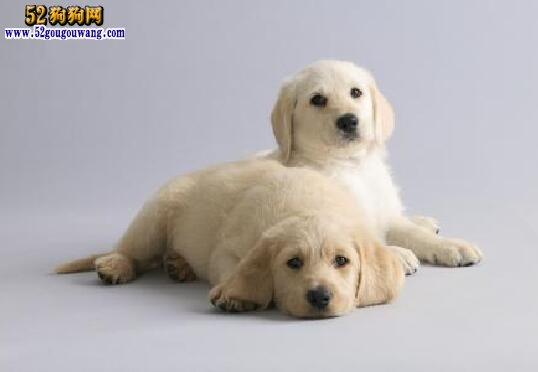 拉布拉多幼犬特征有哪些?怎么挑选拉不拉拉多幼犬?
