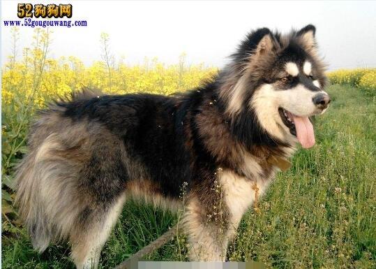 短毛阿拉斯加犬:阿拉斯加短毛和长毛有什么不同?