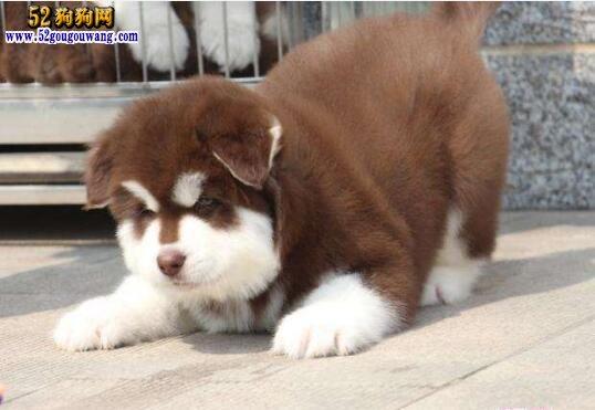 小阿拉斯加犬饲养、多少钱一只?