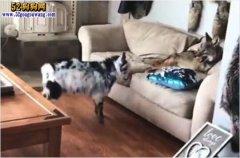 山羊vs狼:网友养了山羊跟一只狼