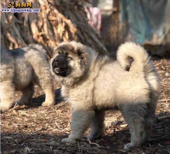 高加索犬价钱 高加索犬多少一只?