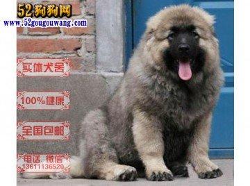 高加索犬图片价格