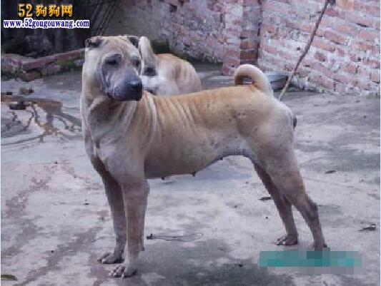 骨嘴沙皮犬