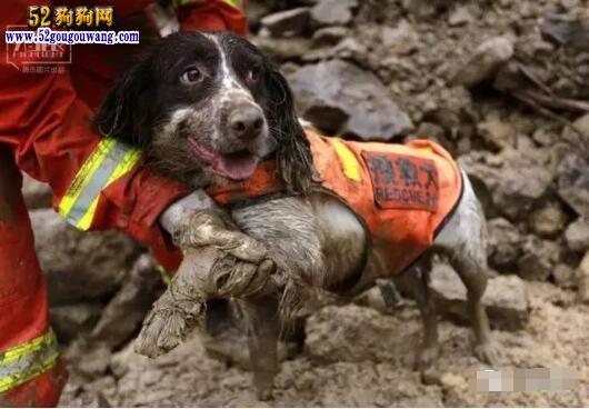 史宾格搜救犬能力怎么样?