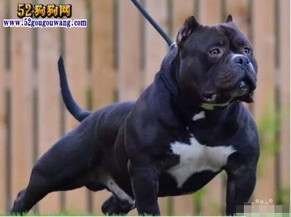 美国恶霸犬价格多少钱一只