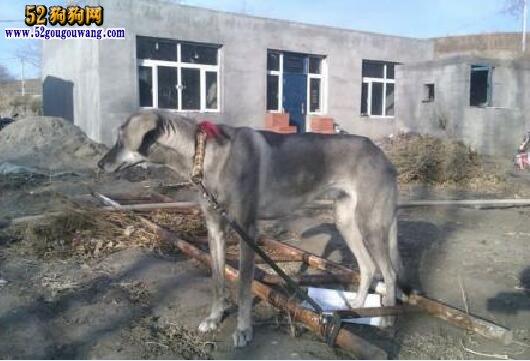 内蒙古细犬图片