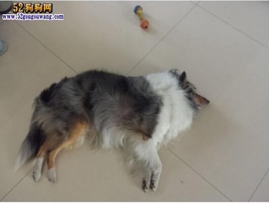养喜乐蒂犬是一种怎样的体验