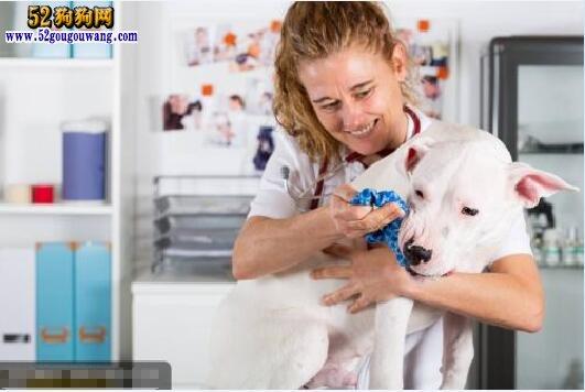 养杜高犬是一种怎样的体验
