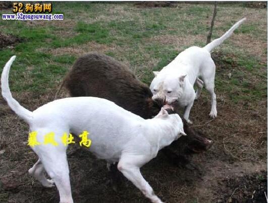 杜高犬和比特犬