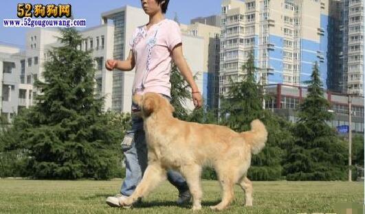 狗狗训练随行方法分享