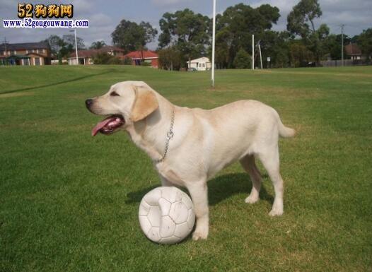 狗狗训练捡东西技巧