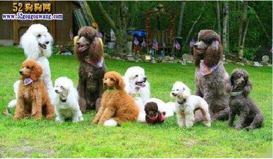 大型贵宾犬图片,巨型贵宾犬图片大全