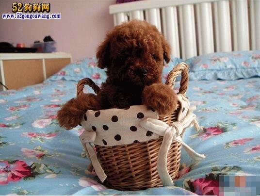 茶杯贵宾犬图片