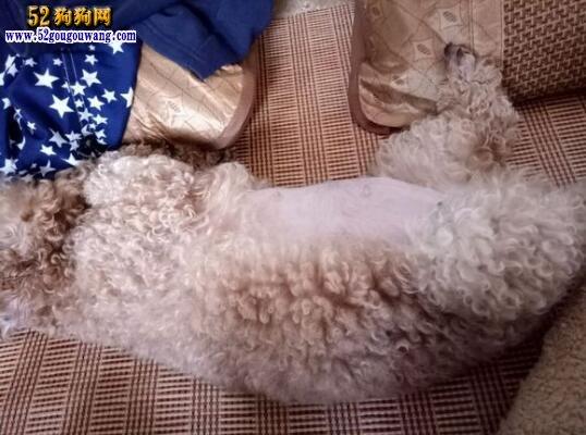 狗狗怀孕变化图 了解狗狗怀孕全过程