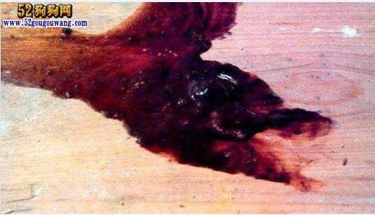 狗狗肠胃出血
