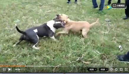 农村斗狗:美国恶霸犬斗狗视频